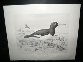 Frohawk 1898 Antique Bird Print. Oyster Catcher